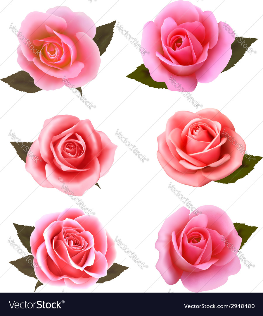 Set of beautiful pink roses vector