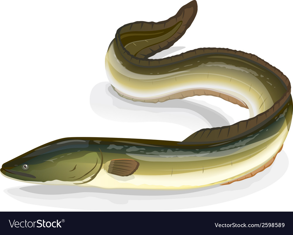 Eel fish vector