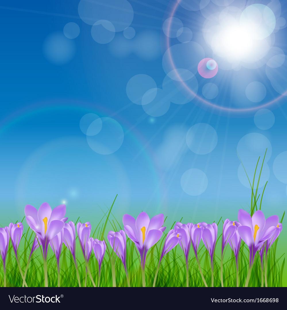 Crocuses nature background vector
