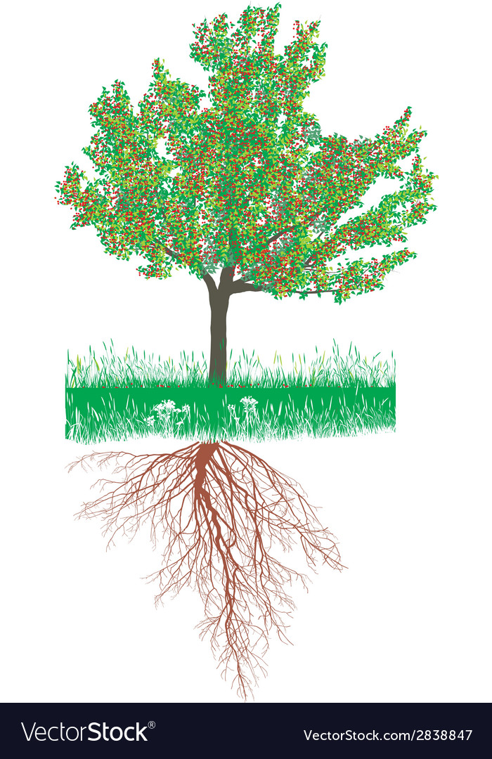 Cherry tree with roots with fruit vector