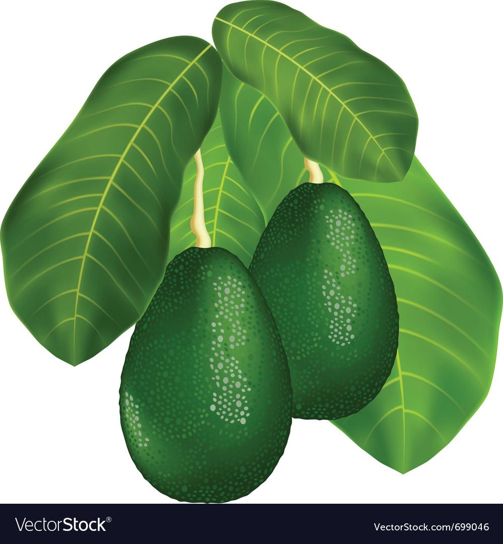 Avocado branches vector