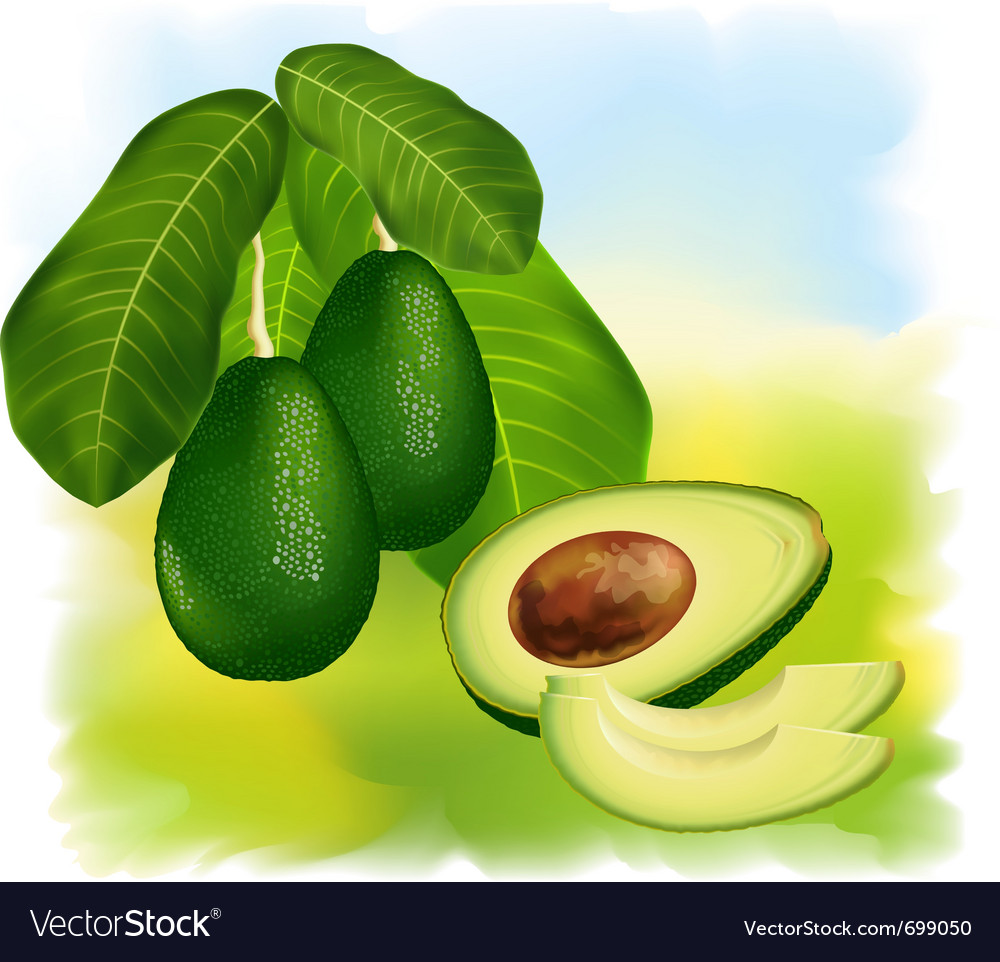 Avocados vector