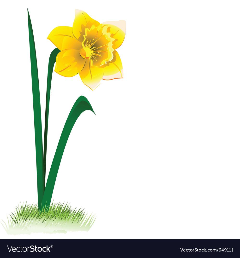 Daffodil vector