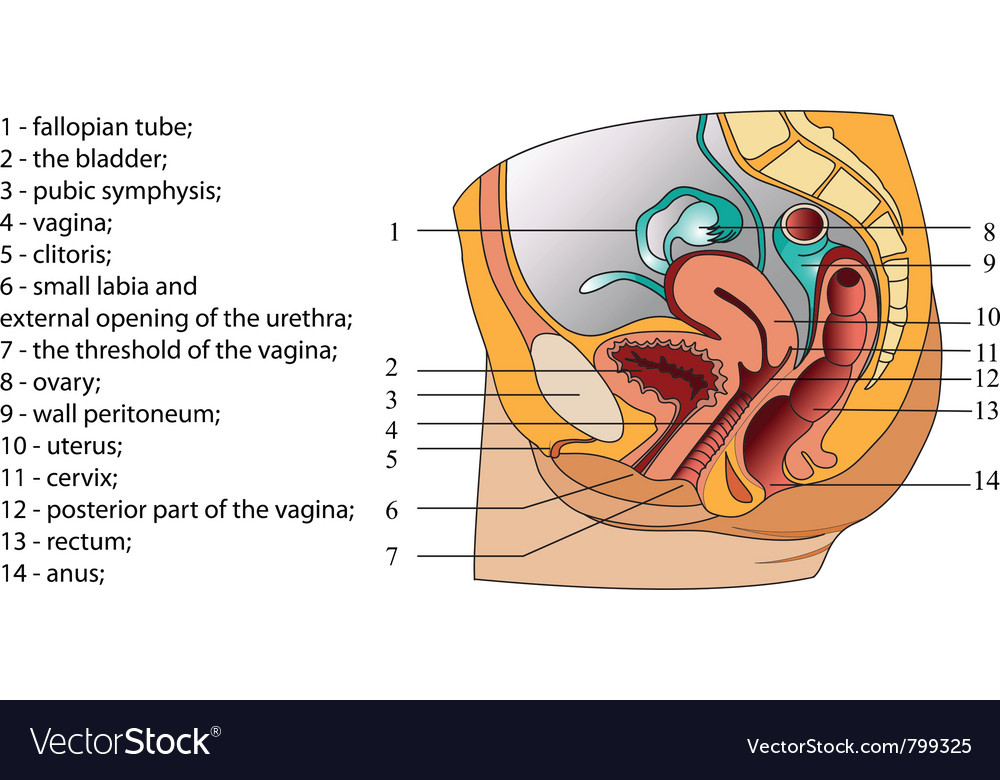 Of female reproductive system poster vector