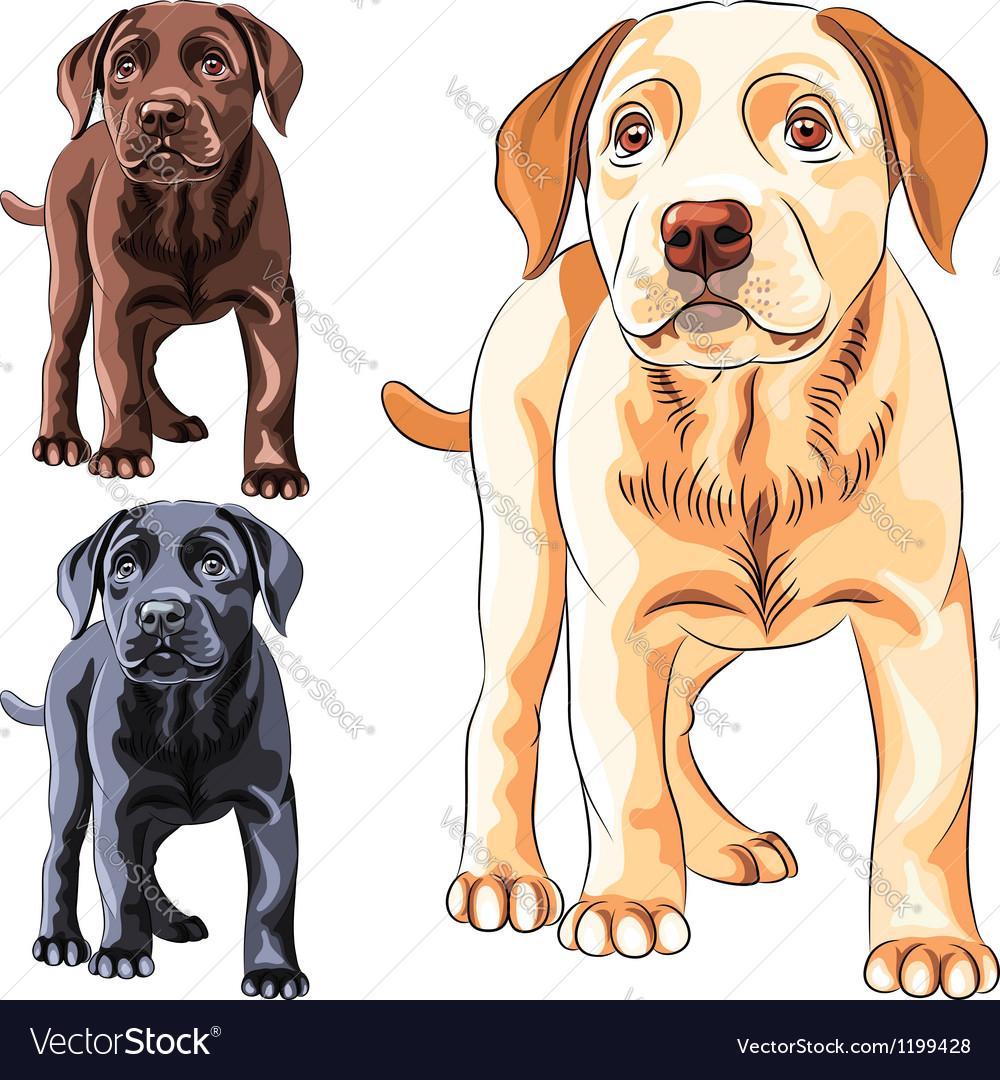 Cute puppy dog breed labrador retriever vector
