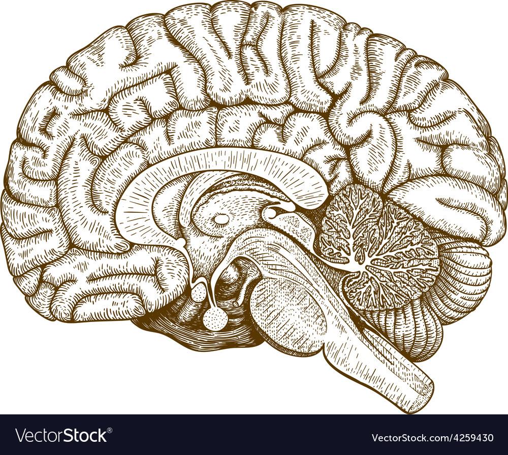 Engraving human brain vector