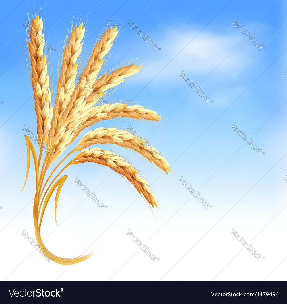 Ears of wheat in front of blue sky vector