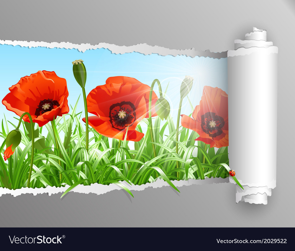 Red poppies in grass with ripped paper vector