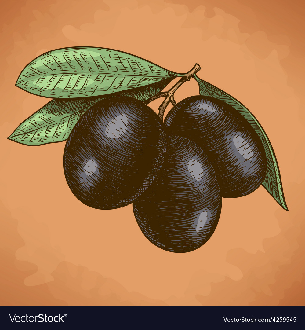 Engraving olives retro vector