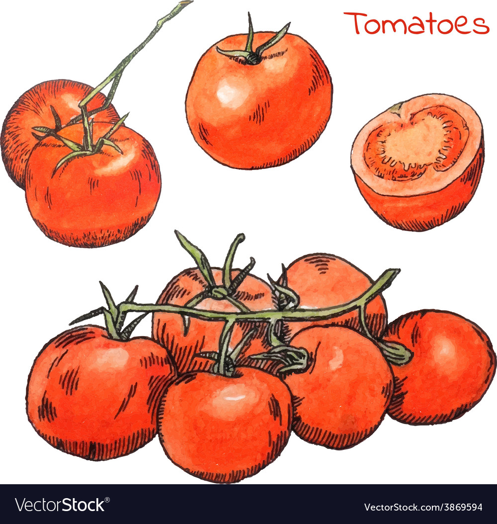 Watercolor colored pencils tomatoes sketches set vector