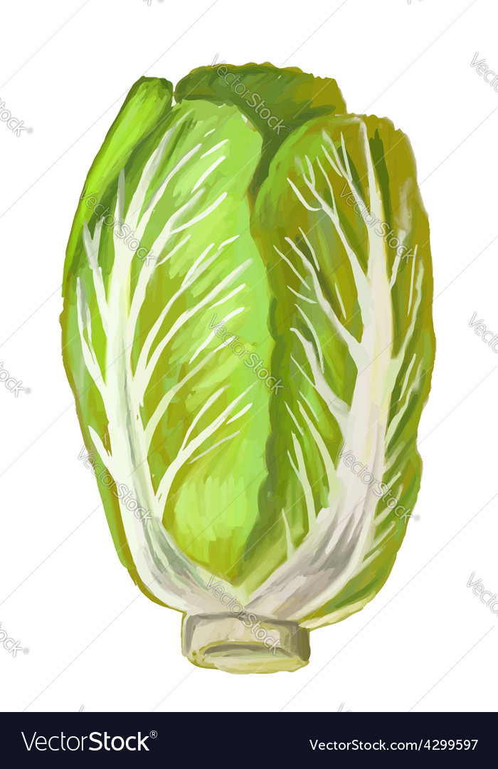 Picture of chinese cabbage vector