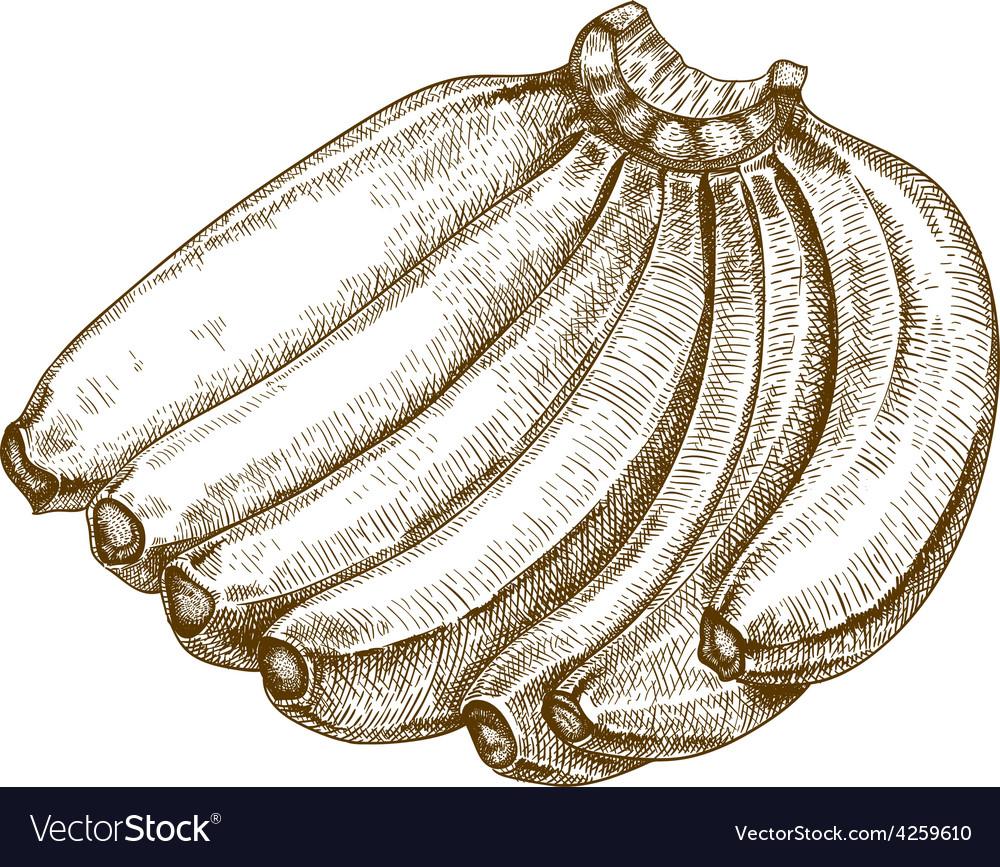 Engraving bananas vector