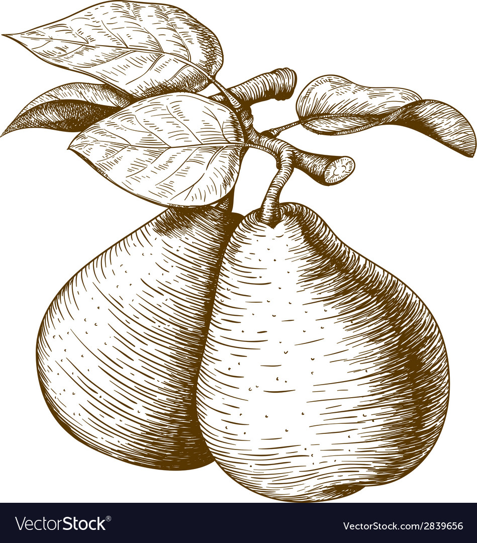 Engraving pear vector