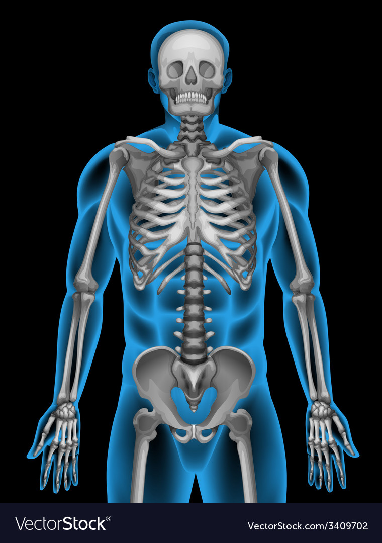 A mans skeleton system vector
