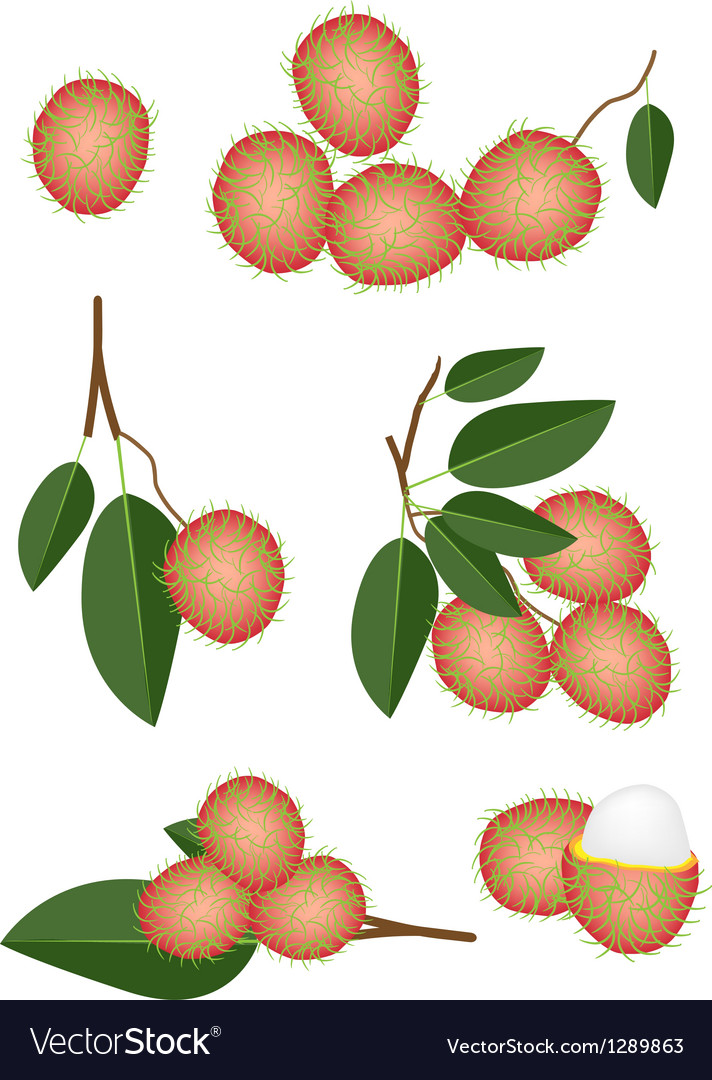 Set of fresh ripe and juicy rambutans vector