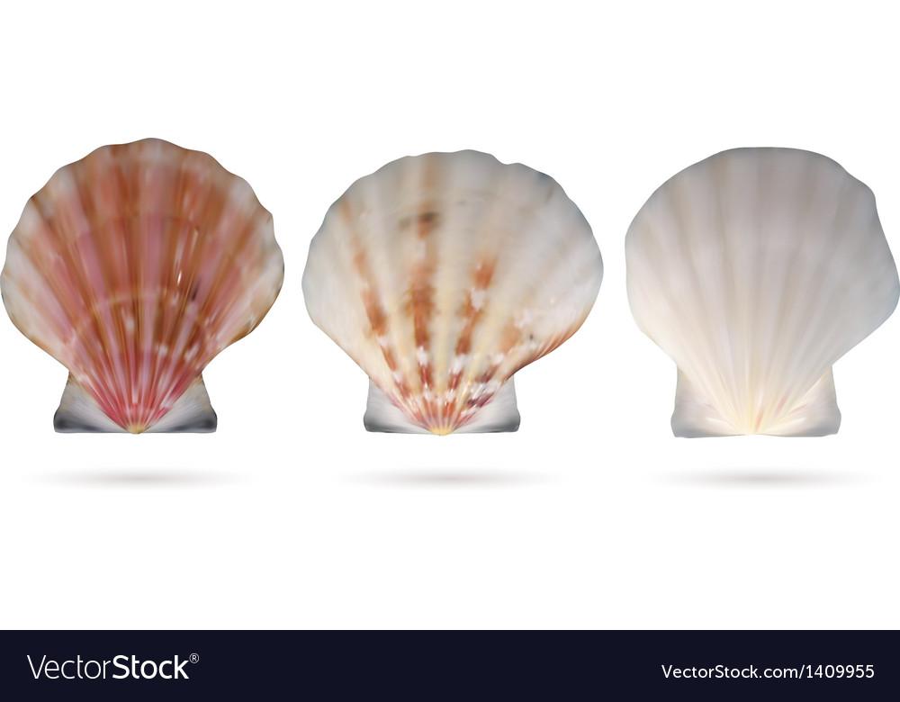 Scallop seashells vector