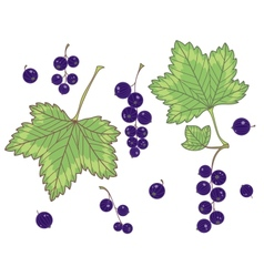 Black currants isolated vector