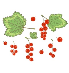 Red currants isolated vector