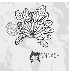 Hand drawn spinach vector