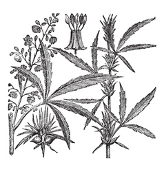 Hemp or chanvre vintage engraving vector