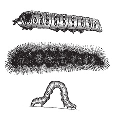 Caterpillar vintage engraving vector