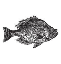 Rock bass vintage engraving vector