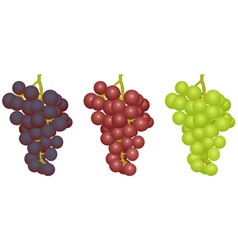 Grapes of different grades vector