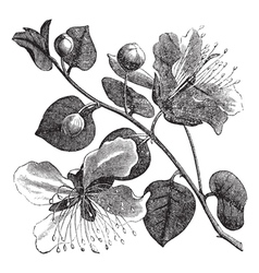 Common caper vintage engraving vector