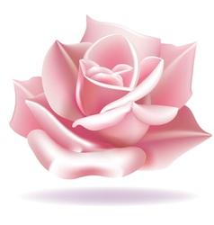Delicate rose vector