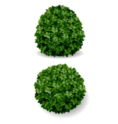 Bush decorative boxwood vector