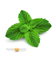 Fresh mint leaves vector