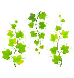 Grape leaves vector