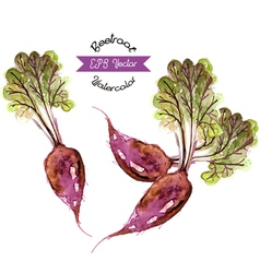 Organic beetroot watercolor vector