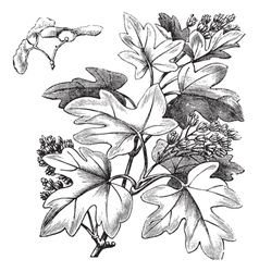 Field maple vintage engraving vector