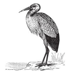 White stork vintage engraving vector
