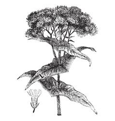 Joe-pye weed engraving vector