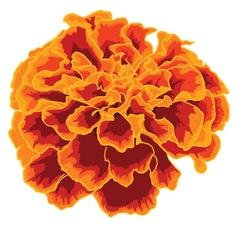 Orange marigold vector