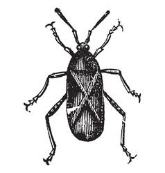 Squash bug vintage engraving vector