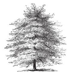 Italian cypress vintage engraving vector