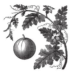 Colocynth engraving vector