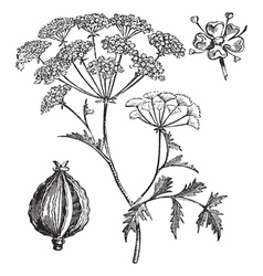 Hemlock vintage engraving vector