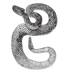 South american rattlesnake engraving vector