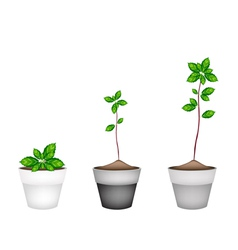 Fresh thai basil plant in ceramic flower pots vector