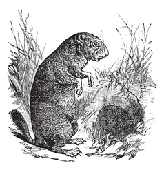Black-tailed prairie dog or cynomys ludovicianus vector