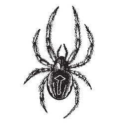 Spider vintage engraving vector