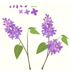 Flowering branch of lilac vector