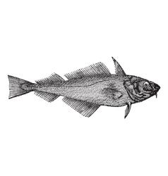 Haddock vintage engraving vector