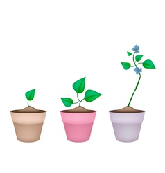 Winged bean plants in ceramic flower pots vector