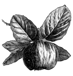 Quince vintage engraving vector