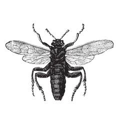Elm sawfly vintage engraving vector